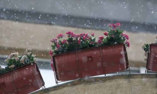 ziemovit_jak-dbac-o-rosliny-balkonowe-zima